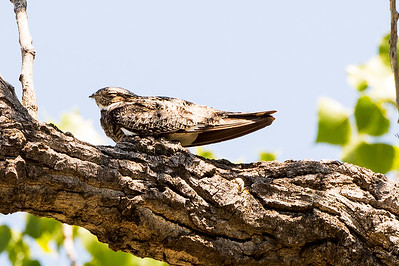 Common Nighthawk roosting in a tree at the Cottonwood Campground.