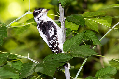 Male Downy Woodpecker at the picnic area by the Cottonwood Campground.