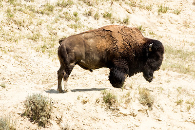 Bison Bull near the Cottonwood Campground.