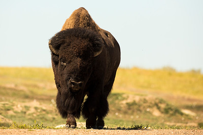 Bison Bull strolling toward the Prairie Dog Town near the Skyline Vista.