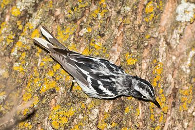Male Black-and-White Warbler at the picnic area by the Cottonwood Campground.