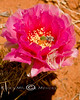 Bumble Bee Rolling in the Pollen - Blooming Prickly Pear in the Coyote Buttes Utah/Arizona