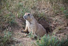 Curious Little Prairie Dog in Devils Tower Dog Town - Photo by Pat Bonish