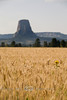 One Lone Flower Stands out Amongst the Wheat Fields - Devils Tower Wyoming - Photo by Cindy Bonish