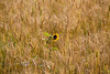 Some People Just Stand Out in a Crowd - Lone Flower in a Wheat Field near Devils Tower Wyoming - Photo by Pat Bonish