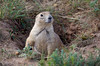 It almost looks like he's smiling for the camera - Prairie Dog Town at Devils Tower Wyoming - Photo by Pat Bonish