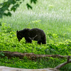20th anniversary trip to Smokies & Pisgah Inn, May 14-22; Cades Cove Historic District added to National Register of Historic Places 1977 (77000111), with with the 3 churches, Cable Mill, & various cabins & farms listed as contribution properties; drove 11-mi Cades Cove loop tour Monday, surprised by throngs of cars & people on weekday in mid-May, but ranger assured me crowd not atypical - traffic came to full stop at times, crept at 5-10 mph at others; many pull-offs parked full, so we stopped at few places; black bear eating foliage near loop road clogged road with cars & gawkers; found place to pull off road (unlike many - ranger came to tell people to pull over or move on), changed to longer lens after a few quick shots to be sure I got something; bear seemed quite unconcerned by audience, even ranger's shouting for people to pull over or move didn't faze it - probably why ranger didn't admonish people to get back away from bear (in line with signs in park)