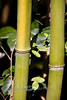 Yellow Bamboo Joints - Middleton Place Gardens