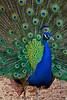 Beautiful Peacock puttin' on a show and struttin' his stuff - Photo by Cindy Bonish