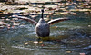 Stretching her Wings in the Pond - Middleton Place Gardens