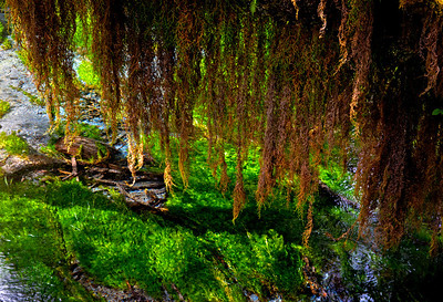 Hall of Mosses Hoh Rainforest Olympic NP WA_8767