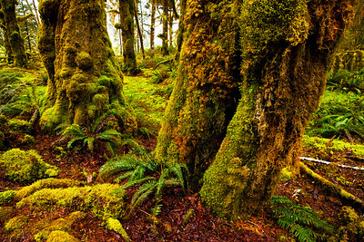 Hoh Rainforest Olympic NP WA_8324