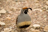 Gambel's Quail - Organ Pipe National Monument