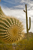 Cactus Arm Trying to Grab the Camera - Organ Pipe