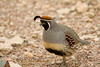 Male Gambel's Quail in Organ Pipe National Monument