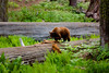 Red haired Black Bear digging for some grubs in some downed logs