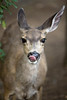 A Mule deer who was more curious about me than I was about it - Sequoia National Park