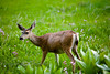 Mule Deer amongst the swamp leaves and wildflowers - Sequoia National Park
