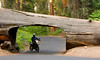 Pat riding his motorcycle under one of the downed Sequoias - Photo by Cindy Bonish