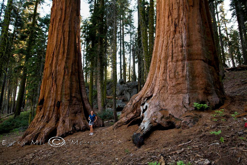 Cindy dwarfed between two giant red woods!  This is one of my favorite pictures from the park as it is the one that shows the true size of these giants