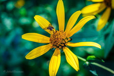 Bee on Flower - Skyland