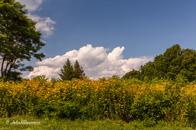 Woodland Sunflowers at Skyland - SNP