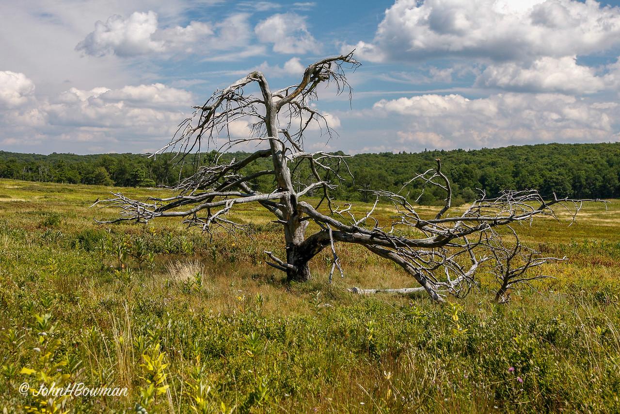 Distinctive Dead Tree - Big Meadows