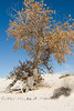Burried Cottonwood Tree in White Sands National Monument