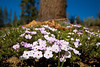 Little Flowers Blooming at High Elevation - Yosemite National Park