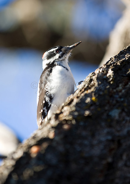 Hairy Woodpecker<br /> <br /> <br /> _D9E9022