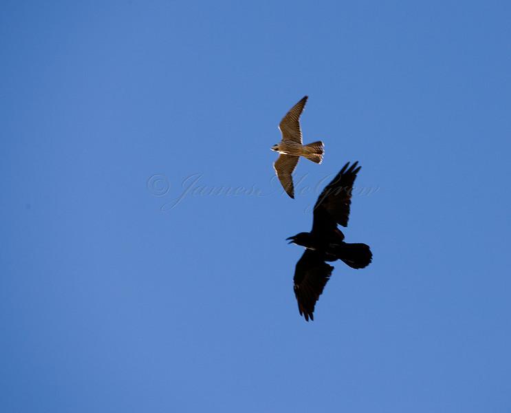 Peregrine Falcon and Common Raven near Desertview<br /> <br /> _D9E8907