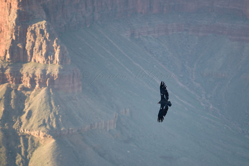 A California Condor soars through the Abyss.<br /> <br /> _D9E9227
