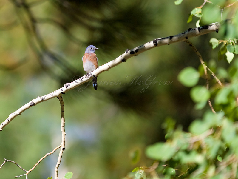 Female Bluebird perches in a quaking aspen on the North Rim.<br /> <br /> <br /> _D9E8646