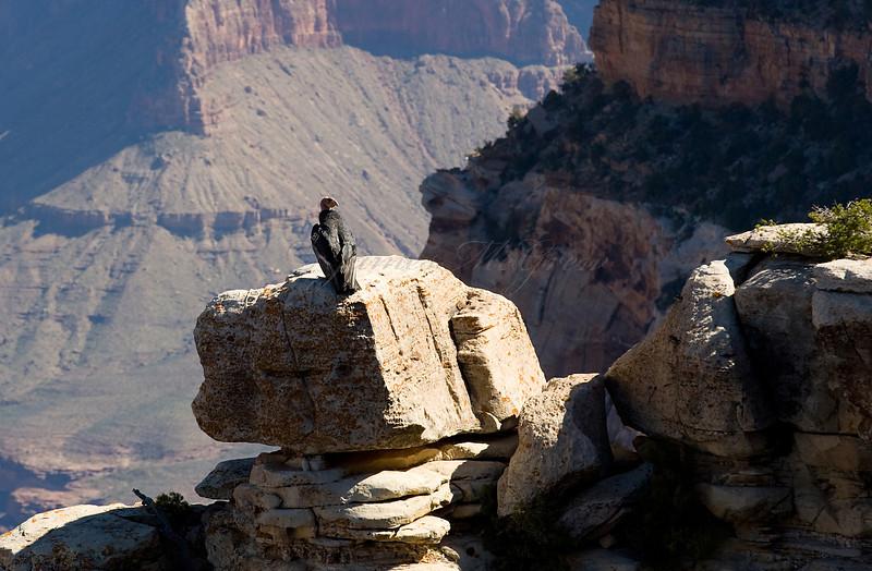California Condor perches near El Tovar<br /> <br /> _D9E9044