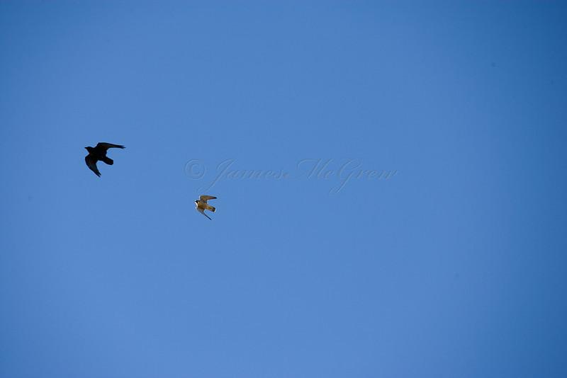 A Peregrine Falcon pursues a Common Raven<br /> <br /> _D9E8901