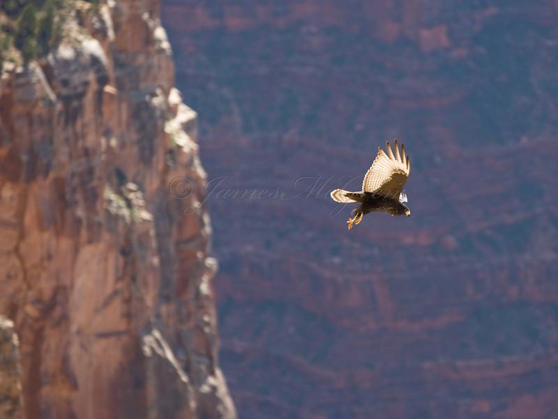 Zone-tailed Hawk.<br /> <br /> _D9E8462