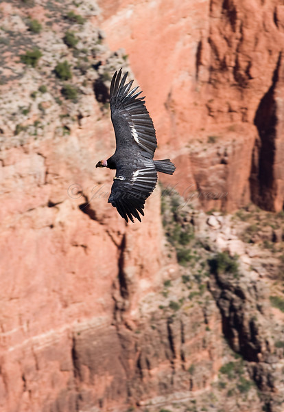 California Condor flying near El Tovar.<br /> <br /> <br /> _D9E9048