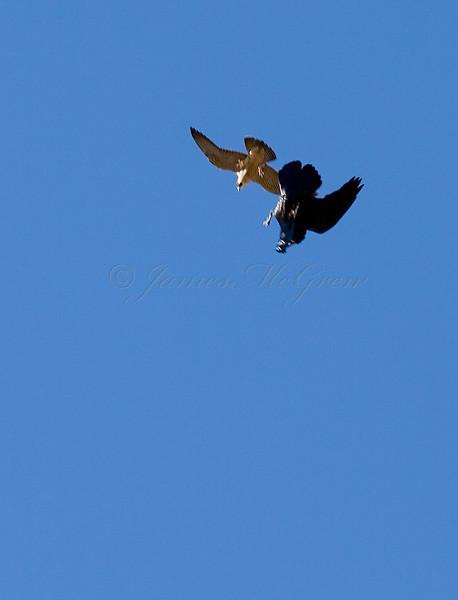 Juvenile Peregrine Falcon harassing a Common Raven over Desertview<br /> <br /> <br /> _D9E8897