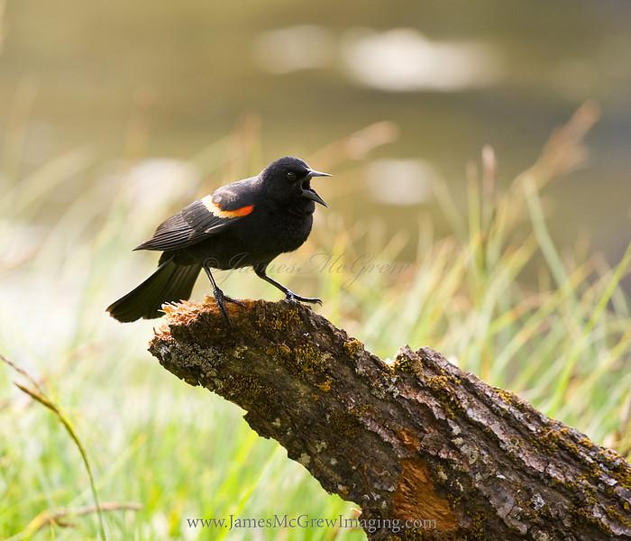 Red-winged black bird calling.  Copyright ©2011, James McGrew.