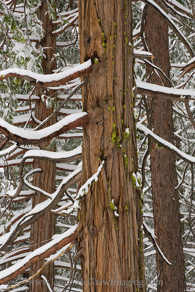 Incense Cedar and Snow Patterns.  ©2011, James McGrew