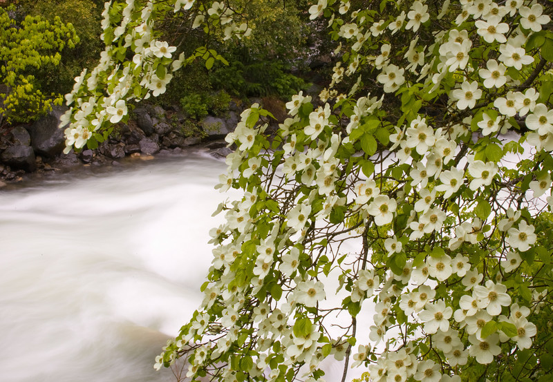 Pacific Dogwood along the Merced River. ©2011, James McGrew