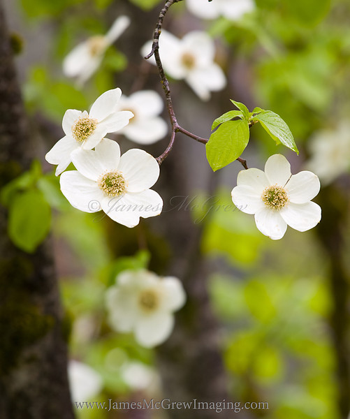 Pacific Dogwood (Cornus nuttalii).  ©2011 James McGrew