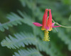 Crimson Columbine.  Copyright ©2004, James McGrew.