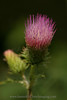 Anderson's Thistle.  Copyright ©2004, James McGrew.