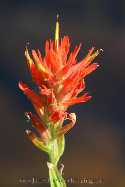 Indian Paintbrush.  Copyright ©2004, James McGrew.