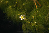 Aquatic Buttercup (Ranunculus aquatilus) actually blooms underwater.   As lake levels drop during the late summer, its flowers may reach the surface as seen here.  Copyright ©2004, James McGrew.