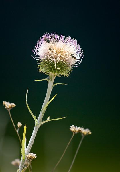 California Thistle (Cirsium occidentale var. californicum) in Hetch Hetchy Valley.