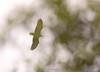 Bald Eagle over Hetch Hetchy.  ©2010 James McGrew