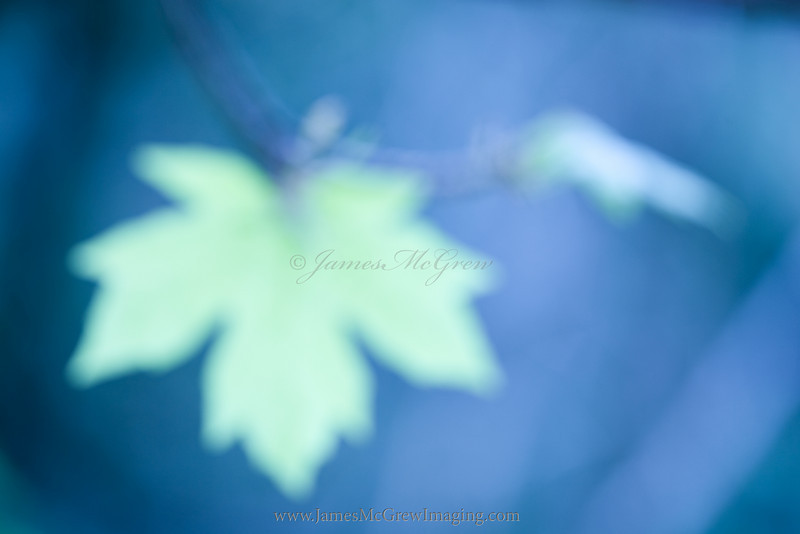 Big Leaf Maple.  Copyright 2011