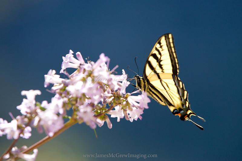 Western Tiger Swallowtail (Papilio rutulus) on Yerba Santa in Hetch Hetchy Valley.  ©2012, James McGrew